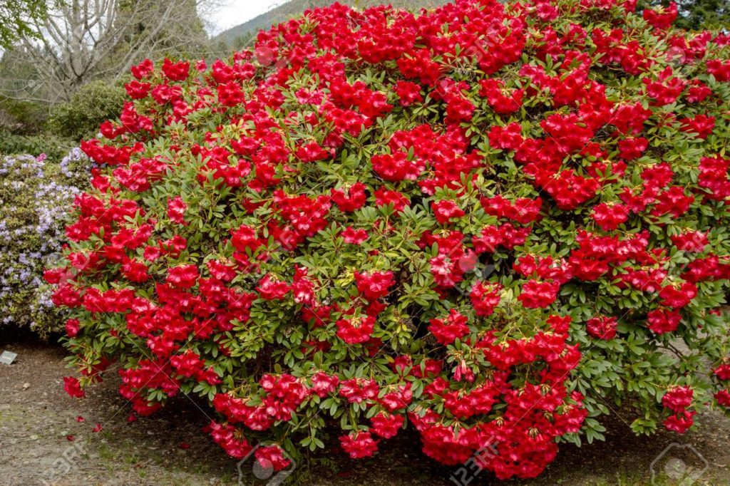 blood red rhododendrons- Rebecca by Daphne du Maurier